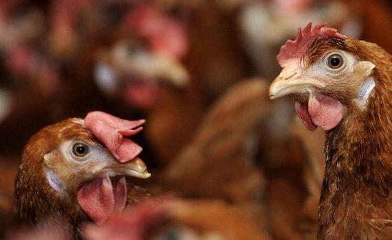 Los 5 mejores libros para criar gallinas