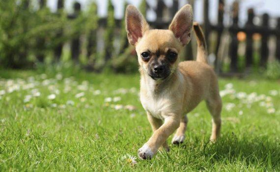 Los 5 mejores libros sobre Chihuahua