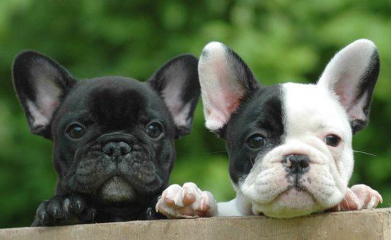 Los 5 mejores libros sobre el bulldog francés
